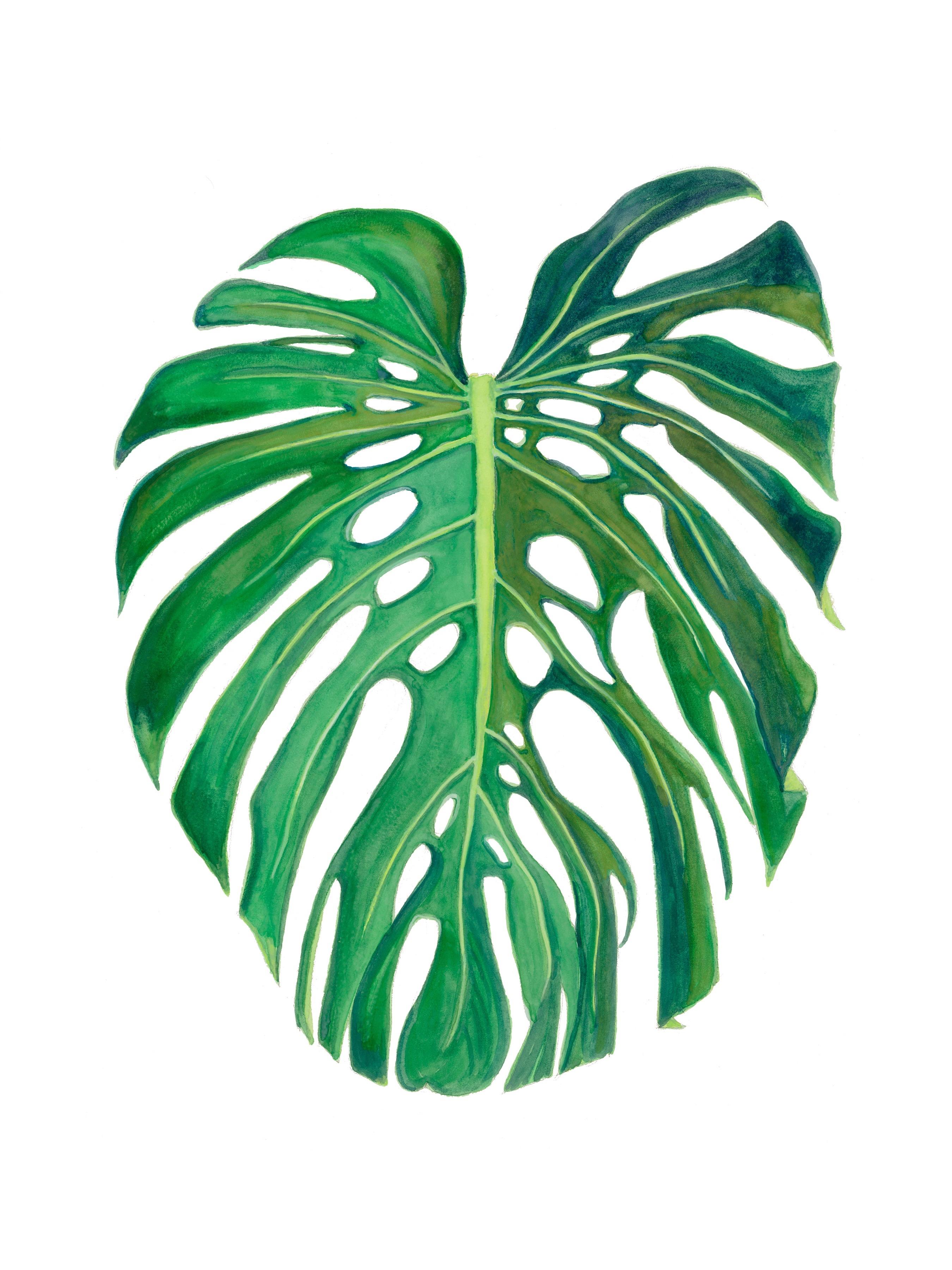 Leaf Monstera Deliciosa Mac Art Galleries